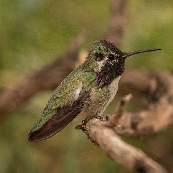 Photograph - Perched Costa's Hummingbird by Teresa Wilson