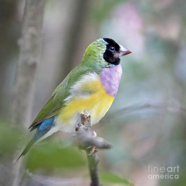 Best Selling Photograph - Perched Gouldian Finch by Glennis Siverson