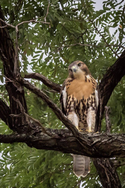 Photograph - Perched Hawk by Terry DeLuco