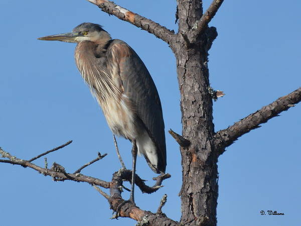 Photograph - Perched In A Pine Tree by Dan Williams
