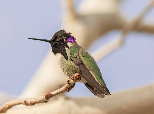 Photograph - Perched Male Costas by Loree Johnson