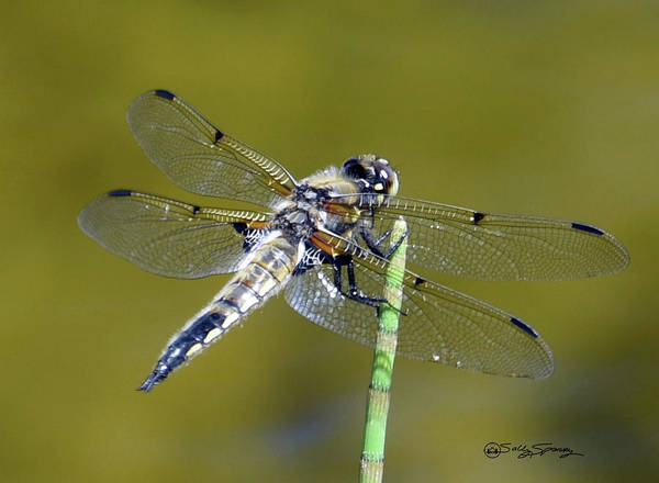 Photograph - Perched On A Horsetail by Sally Sperry