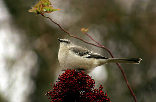 Photograph - Perched On Sumac 0209 H_2 by Steven Ward