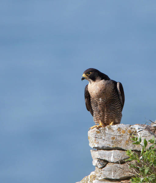 Photograph - Perched Peregrine Falcon by Peter Walkden