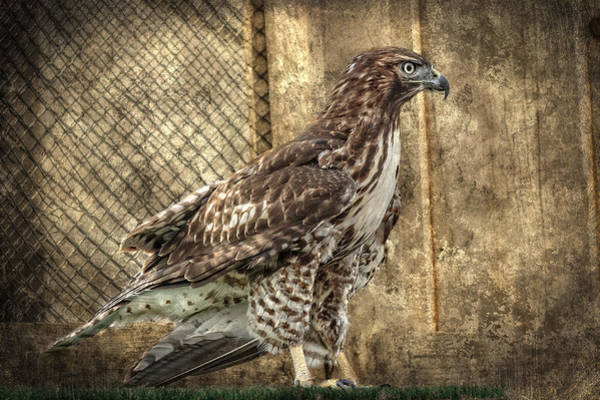 Photograph - Perched Red Tailed Hawk by Wes and Dotty Weber