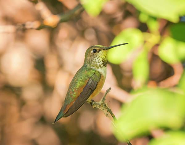 Photograph - Perched Rufous Hummingbird by Loree Johnson