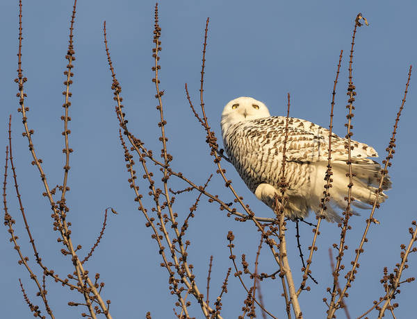 Photograph - Perched Snowy Owl 2015-1 by Thomas Young
