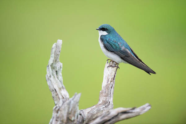 Wall Art - Photograph - Perched Tree Swallow by Happy Home Artistry