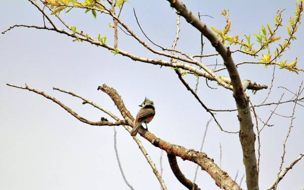 Photograph - Perched Tufted Titmouse  by Cynthia Guinn