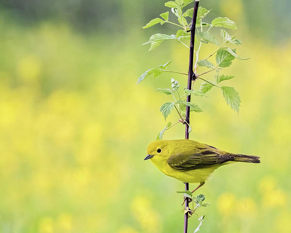 Photograph - Perched Yellow Warbler by John Vose