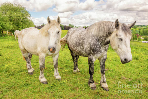 White Horse Photograph - Percherons Horses by Delphimages Photo Creations