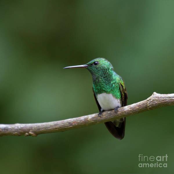 Photograph - Perching Snowy-bellied Hummingbird by Heiko Koehrer-Wagner