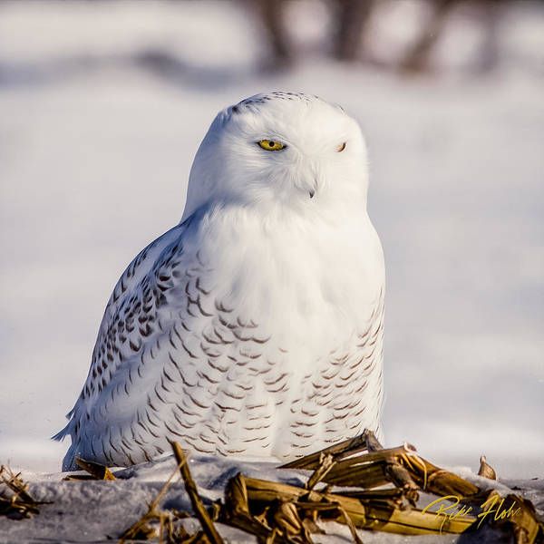Photograph - Perching Snowy Owl, by Rikk Flohr