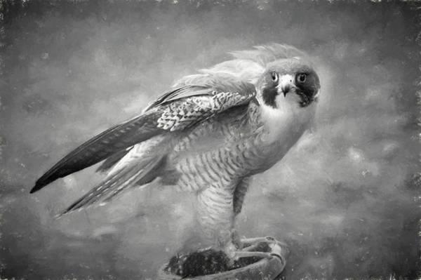 Photograph - Peregine Falcon Looking by Dan Friend