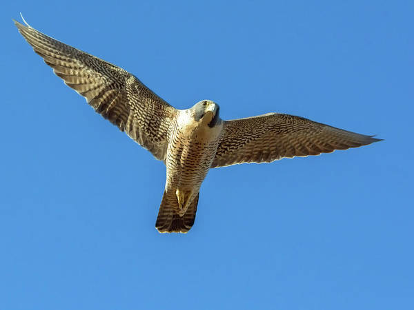 Photograph - Peregrin Falcon by Tam Ryan