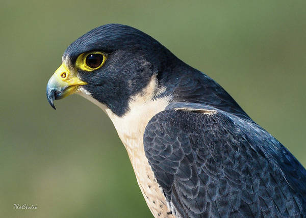 Photograph - Peregrin Falcon by Tim Kathka