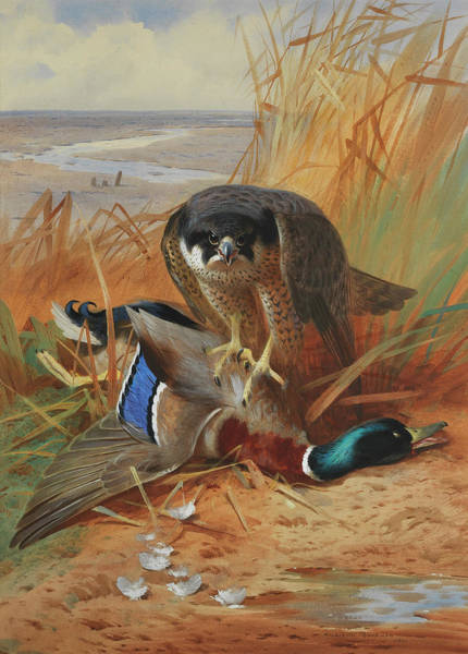 Wall Art - Painting - Peregrine Falcon And Mallard Duck On A Sandbank by Archibald Thorburn