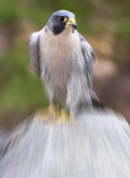 Digital Art - Peregrine Falcon  by Chris Flees
