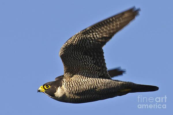 Peregrine Photograph - Peregrine Falcon In Flight 1 by Michael  Nau