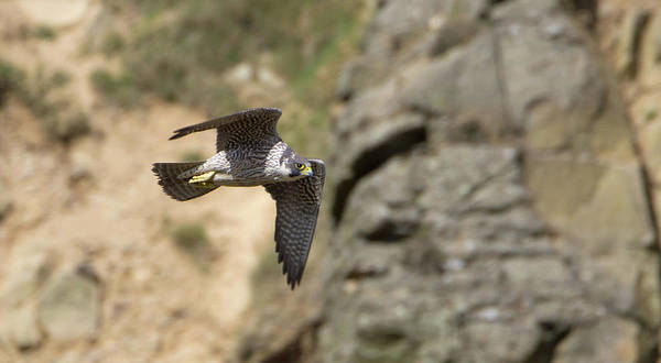 Photograph - Peregrine Falcon In Flight by Peter Walkden