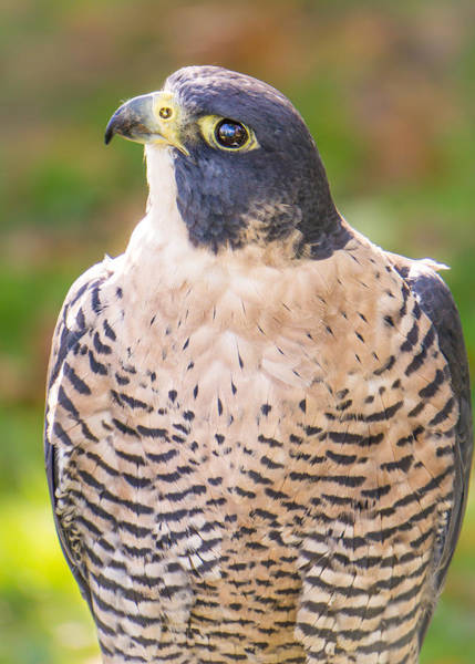 Photograph - Peregrine Falcon by Jim Hughes