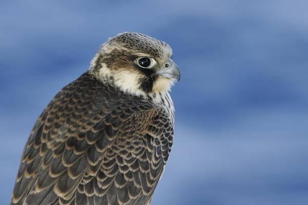 Photograph - Peregrine Falcon Juvenile Close Up by Bradford Martin