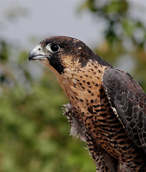 Peregrine Photograph - Peregrine Falcon by Peter Gray