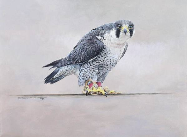 Painting - Peregrine Falcon Portrait by Alan M Hunt