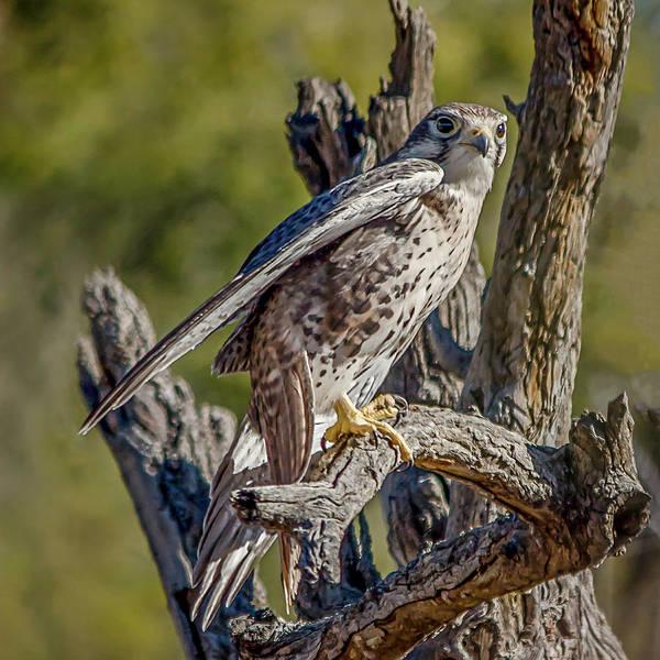 Photograph - Peregrine Falcon Portrait by Teresa Wilson
