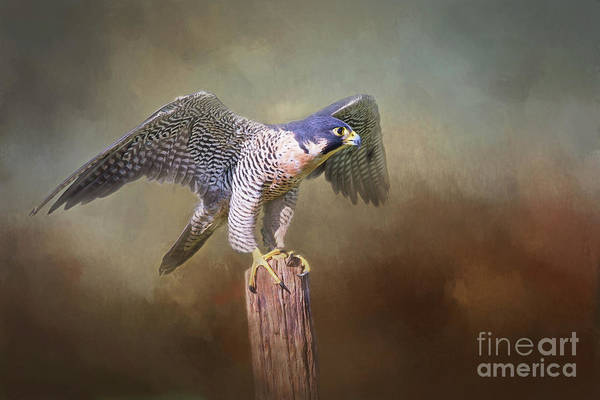 Wall Art - Digital Art - Peregrine Falcon Taking Flight by Sharon McConnell