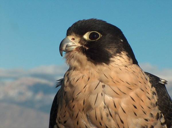 Montain Photograph - Peregrine Falcon by Tim McCarthy