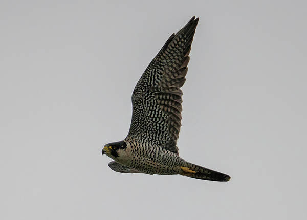 Photograph - Peregrine On A Foggy Day by Loree Johnson