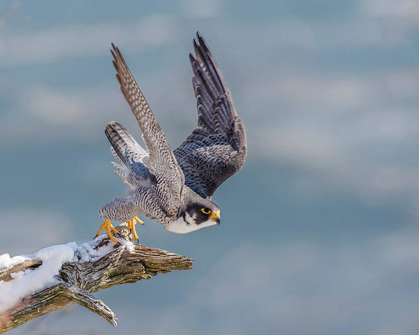 Peregrine Photograph - Peregrine, On Your Mark by Morris Finkelstein