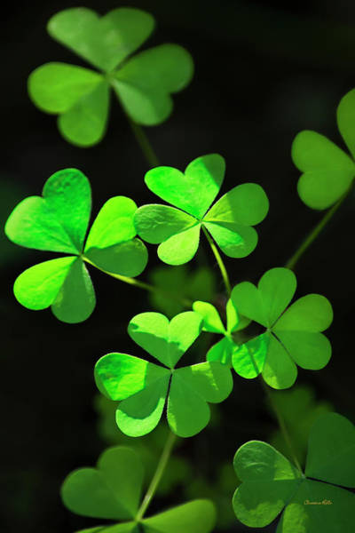 Photograph - Perfect Green Shamrock Clovers by Christina Rollo