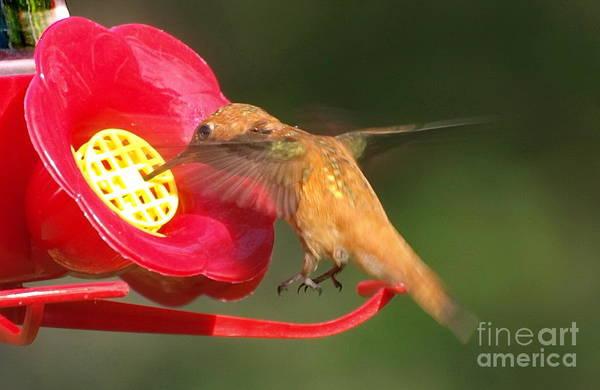 Photograph - Perfect Hovering Hummingbird by Vivian Martin