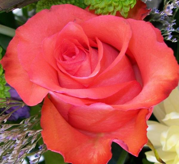 Photograph - Perfect Soft Red Rose  by Sharon Duguay