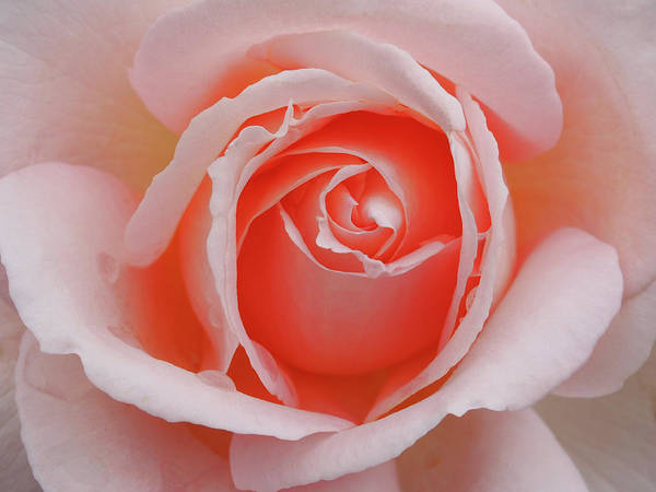 Wedding Bouquet Photograph - Perfect Pink Rose by Philip Openshaw