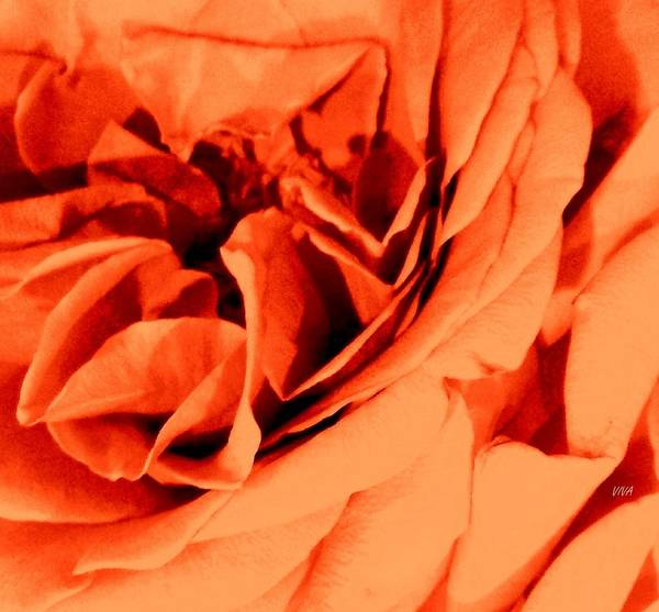 Photograph - Perfect Rose-close-up by VIVA Anderson