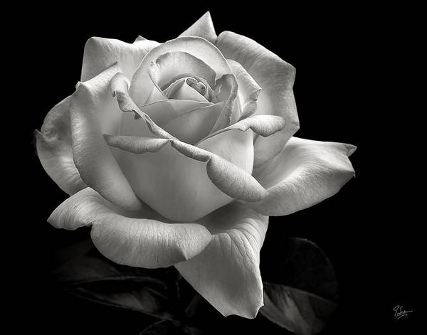 Wall Art - Photograph - Perfect Rose In Black And White by Endre Balogh