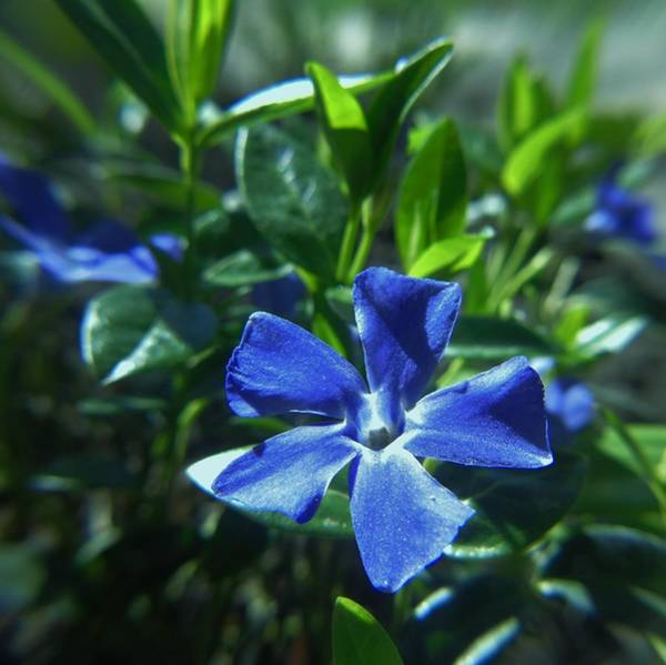 Photograph - Periwinkle Bloom by Barbara St Jean