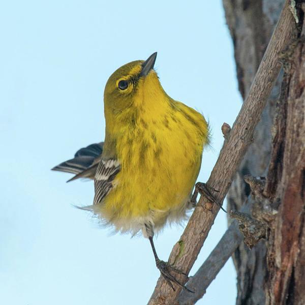 Photograph - Perky Pine Warbler by Lara Ellis