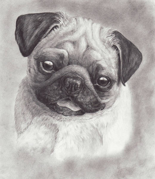 Drawing - Perky Pug by Laurie McGinley
