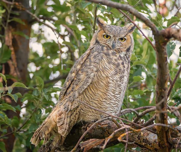 Photograph - Perplexed Owl by Loree Johnson