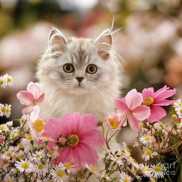 Photograph - Persian And Pink by Warren Photographic