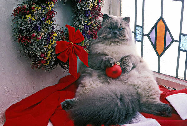 Wall Art - Photograph - Persian Cat With Christmas Ball by Garry Gay