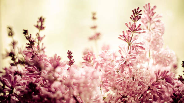 Lilac Photograph - Persian Lilacs In The Sun by Maggie Terlecki