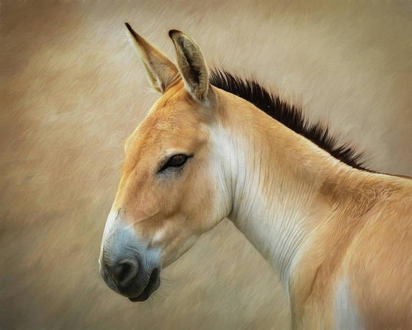 Mane Wall Art - Photograph - Persian Onager by Tom Mc Nemar