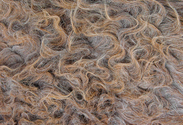 Photograph - Peruvian Burro Curls by Britt Runyon
