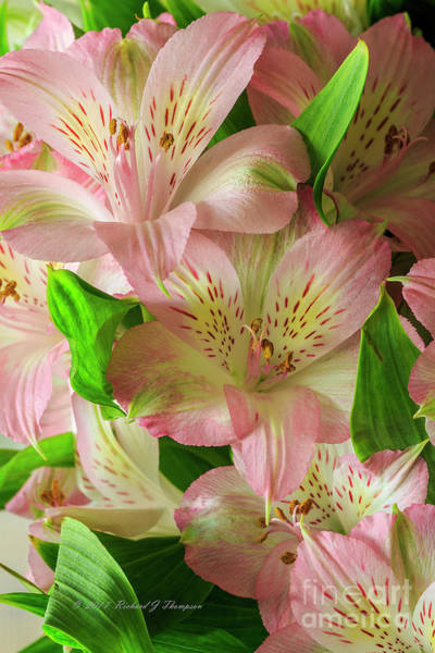 Photograph - Peruvian Lilies In Bloom by Richard J Thompson