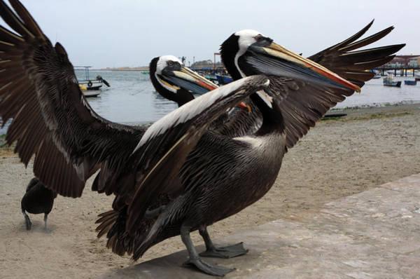 Photograph - Peruvian Pelicans by Aidan Moran